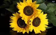 Three Little Sunflowers