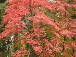 bryn mawr college.pink leaves