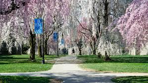 bryn mawr.purple arch of trees