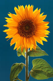 sunflower.single with very blue sky