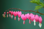 bleeding-heart-254010_1280
