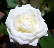 David's Rose of Peace